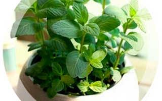 Как вырастить мяту и мелиссу на подоконнике – секреты хорошего урожая