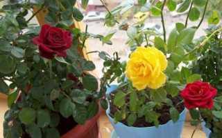 Королевский» цветок или комнатная роза – уход в домашних условиях, правила выбора декоративных растений