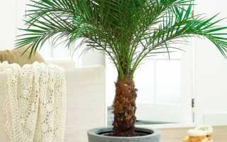 Разновидности домашней пальмы – фото, описание и правила ухода