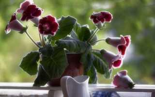 Бархатная роскошь – выращивание глоксинии
