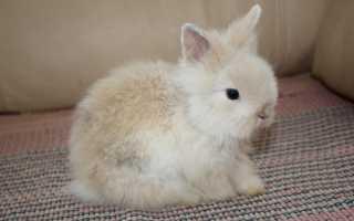 Карликовый кролик – породы, уход и содержание
